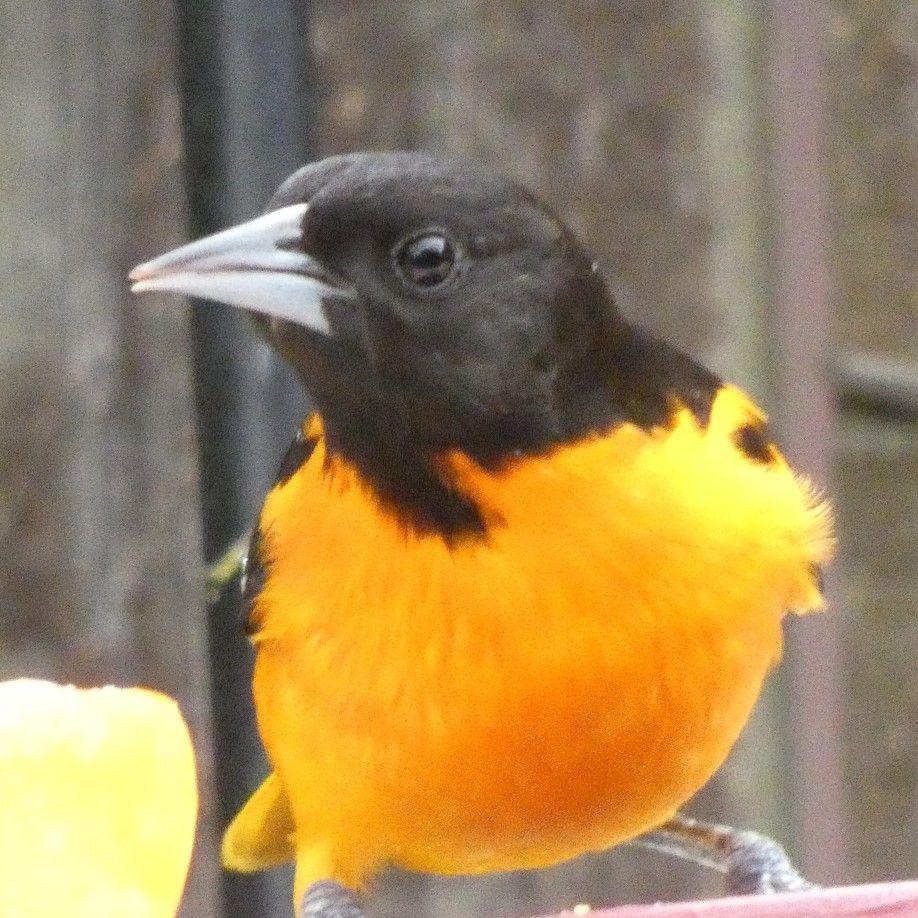 Baltimore oriole at my backyard feeder wildlife habitat