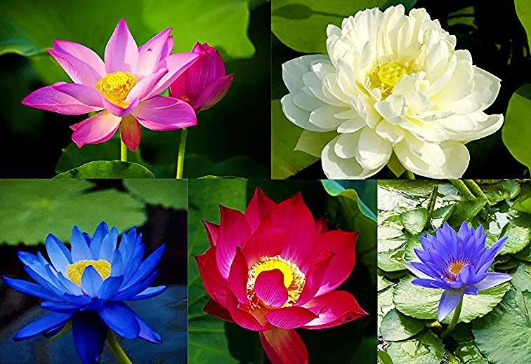 Paling Populer 13 Gambar Bunga Teratai Warna Ungu Simbol Dan Makna Bunga Teratai Nibbana Id 6 Jenis Bunga Teratai Yang Keindahannya Mena Flowers Plants Rose