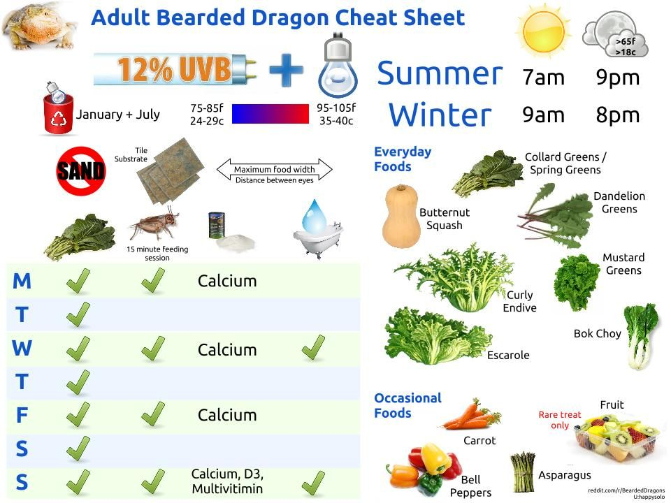 How to look after a bearded dragon care guide   kellyville pets.