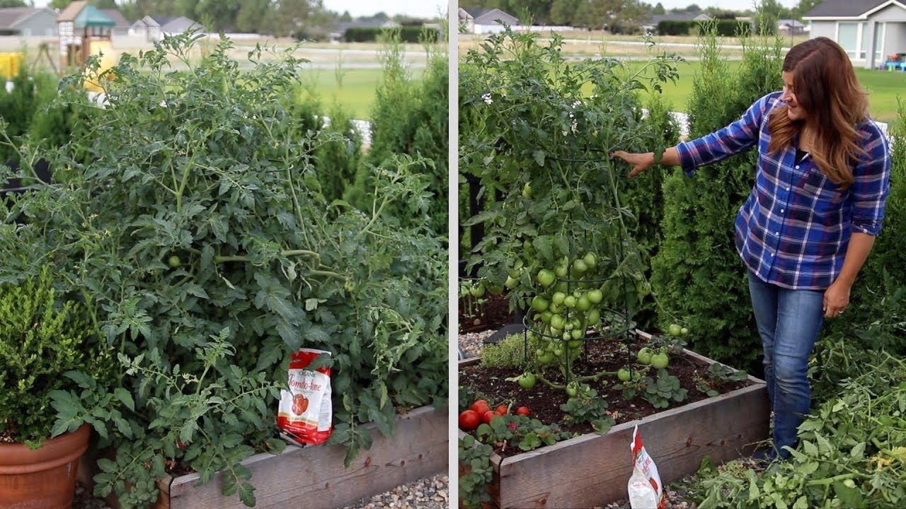 Pruning An Overgrown Tomato Plant ️ Garden Answer 400 x 300