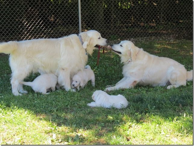We Raise Beautiful English Cream Golden Retriever Puppies For Sale