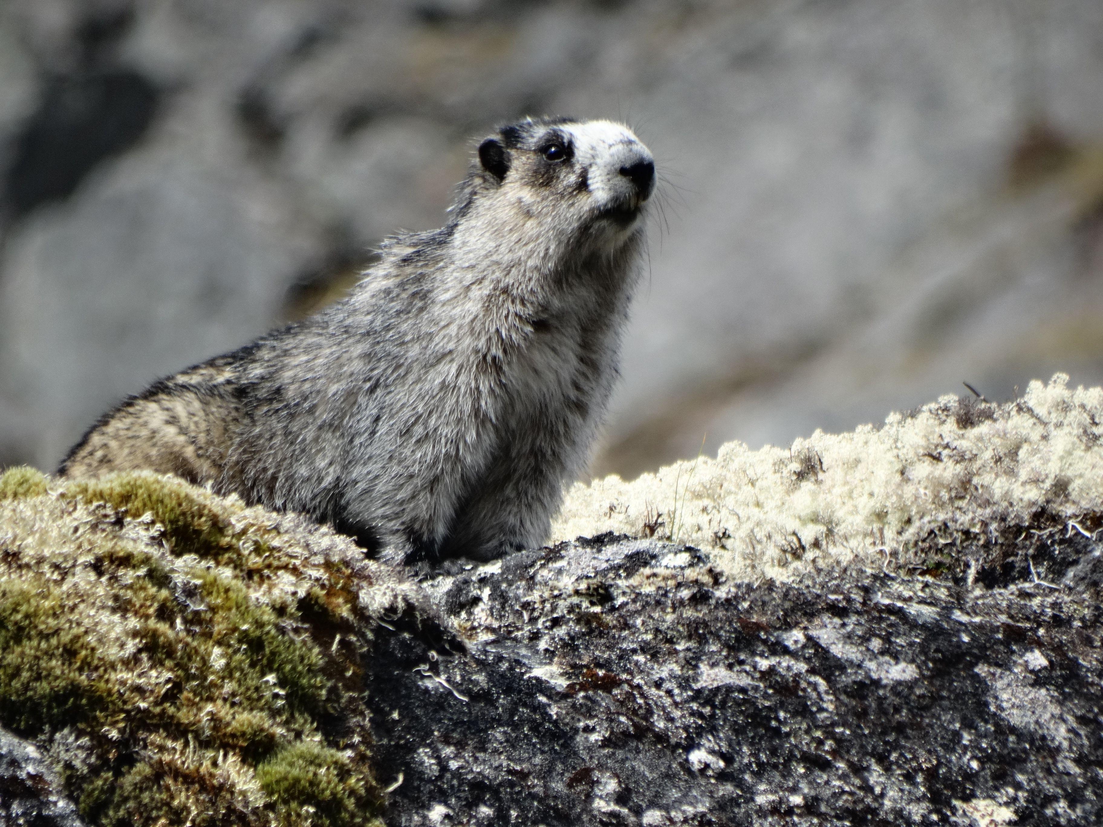 Hoary marmot archangel valley alaskan fauna pinterest