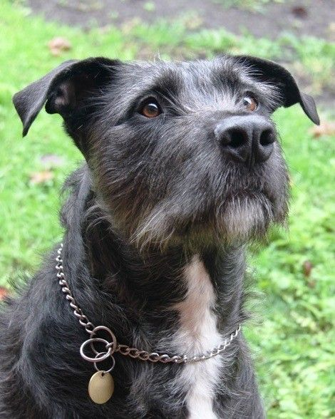 Hooch Large Male Irish Wolfhound Mix In Vic Petrescue Irish Wolfhound Mix Irish Wolfhound Wolfhound