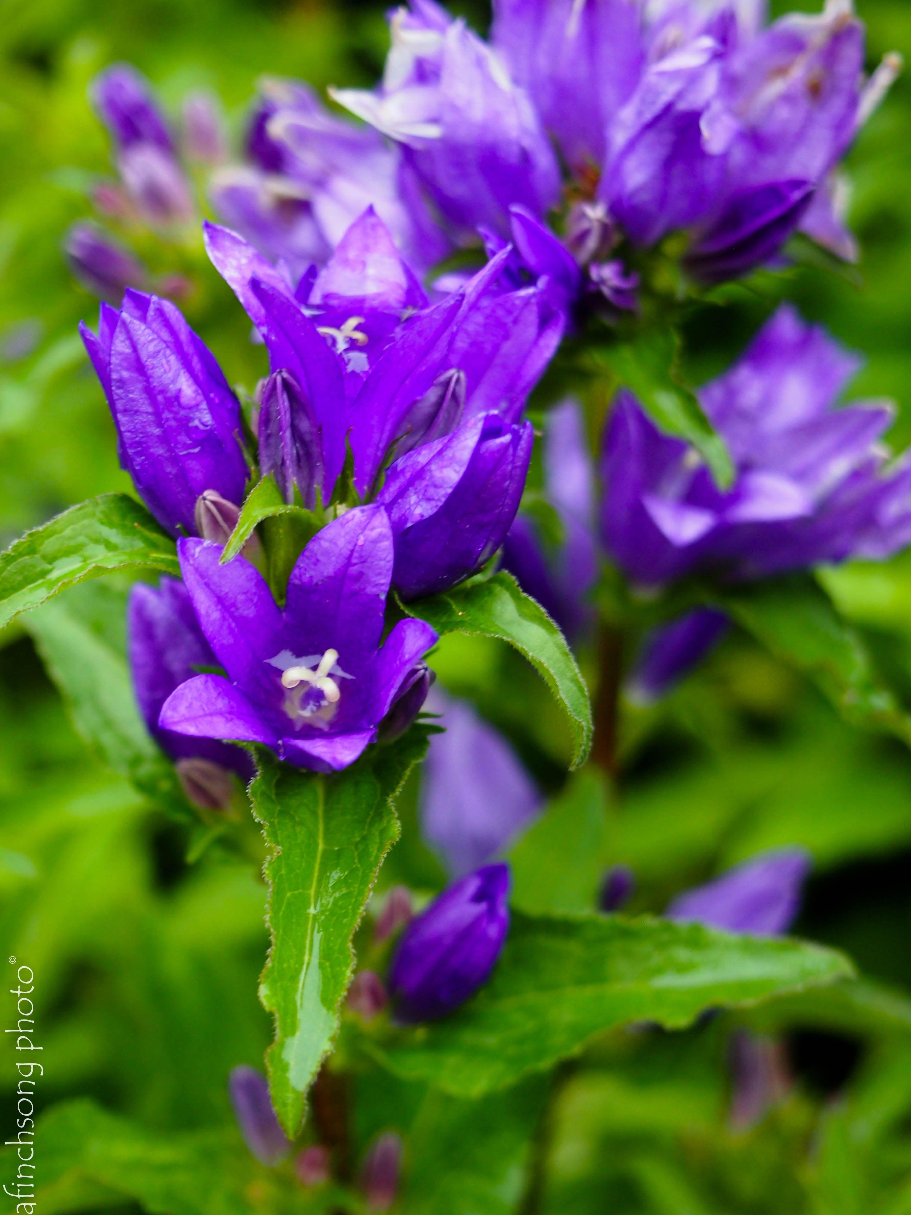 Perennial campanula glomerata bellefleur blue perennials perennial campanula glomerata bellefleur blue izmirmasajfo