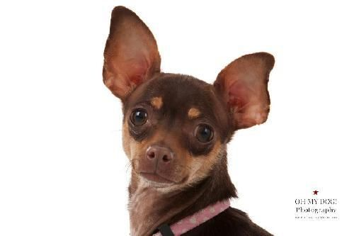 Pin By Paula Arsenault On Dogs Unlimited Chihuahua Puppies