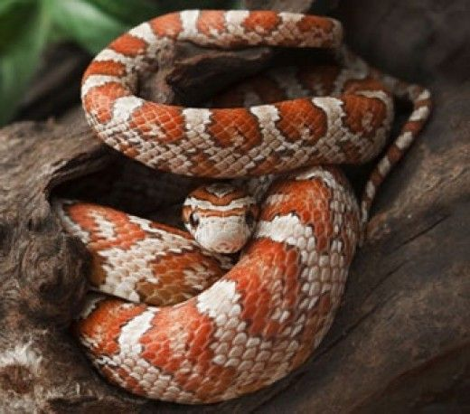 Best Pet Snake Species For Children And Beginners Pet Snake Corn Snake Types Of Snake