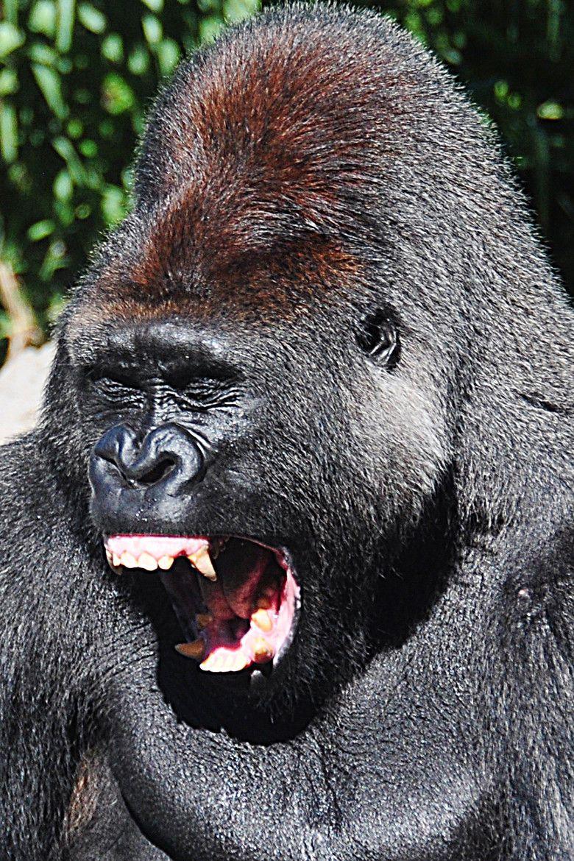 Gorilla Mouth Silverback Gorilla----...