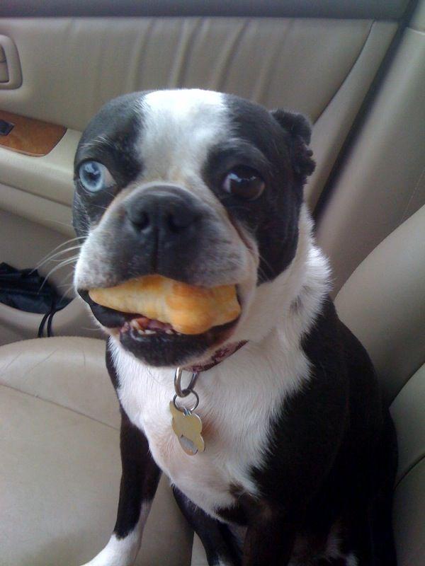 Enjoying A Biscuitville Dog Biscuit Boston Terrier Dog Love Boston Terrier Names