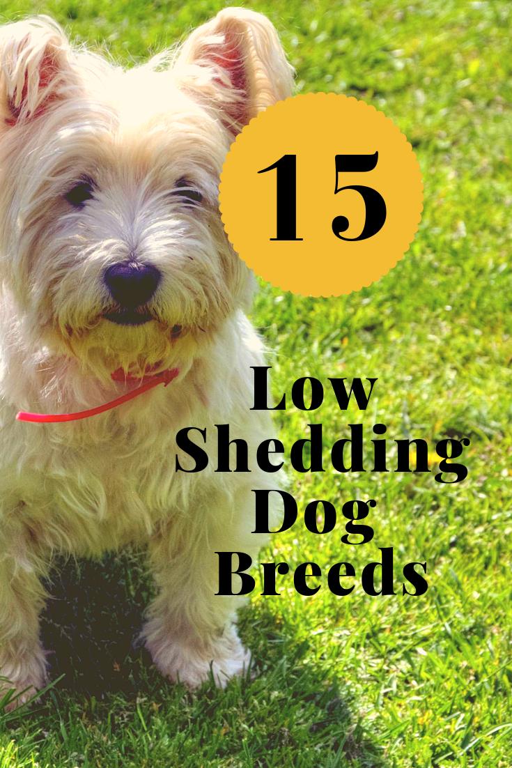 15 Low Shedding Dog Breeds Hypoallergenic Breeds Low