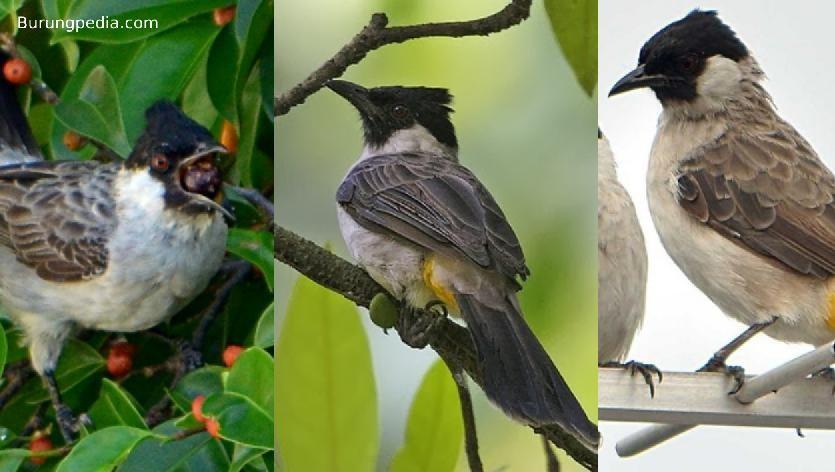 Cara Lengkap Membedakan Kutilang Jantan Dan Betina Lengkap Betina Burung Jenis