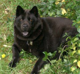 Almost Look Like My Beamer Lab Chow Mix Chow Lab Mix Black