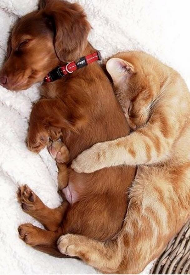 Photo of For those who say that cats and dogs are not friendsSweet friends spooning