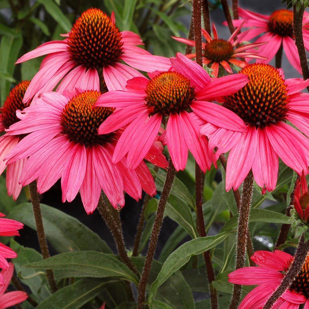 Echinacea Dream™ 'Glowing Dream' in 2020 Drought