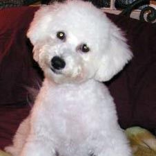 I Love The Way This Little Bichon Has His Head Tilted Adorable