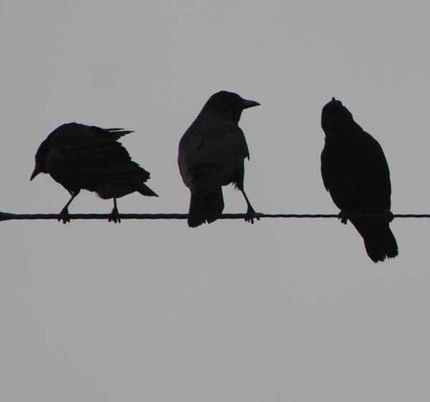 Image detail for -Crows On A wire-15 by 5-Fine Art Photo Print picture on VisualizeUs