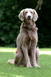 Look Like A Weimaraner Mixed With A Golden Retriever Weimaraner