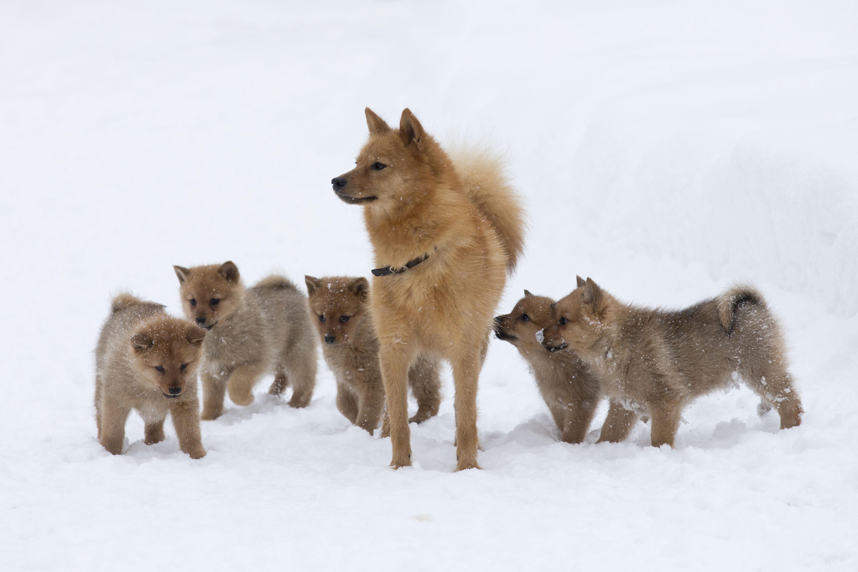 Koirat Finnish Spitz Spitz Dogs Finnish