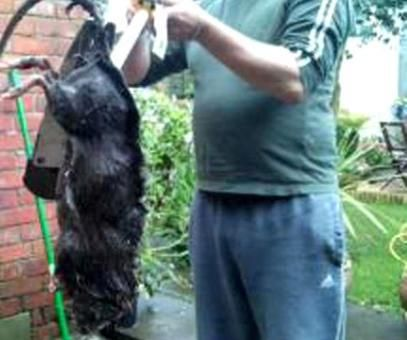 Giant Rats In New York York Giant Sewer Brown Norway