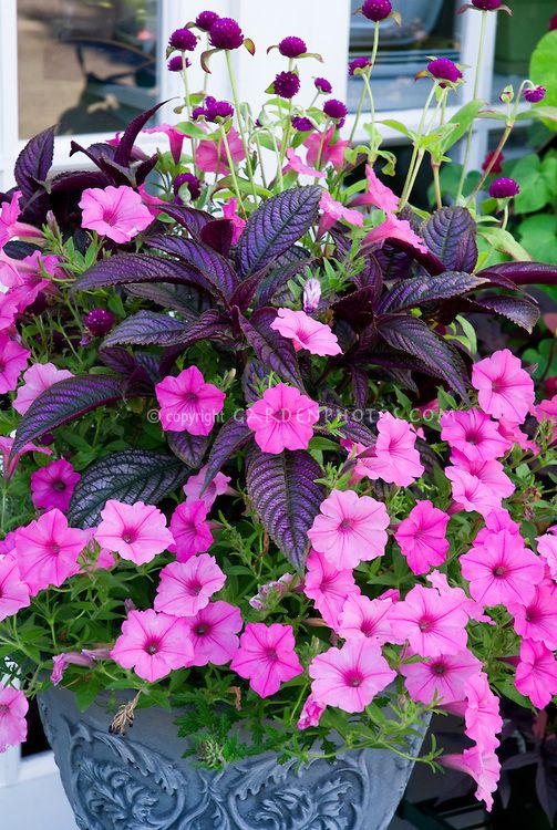 Gorgeous container garden with Persian Shield, Pink Petunias and Globe Amaranth.