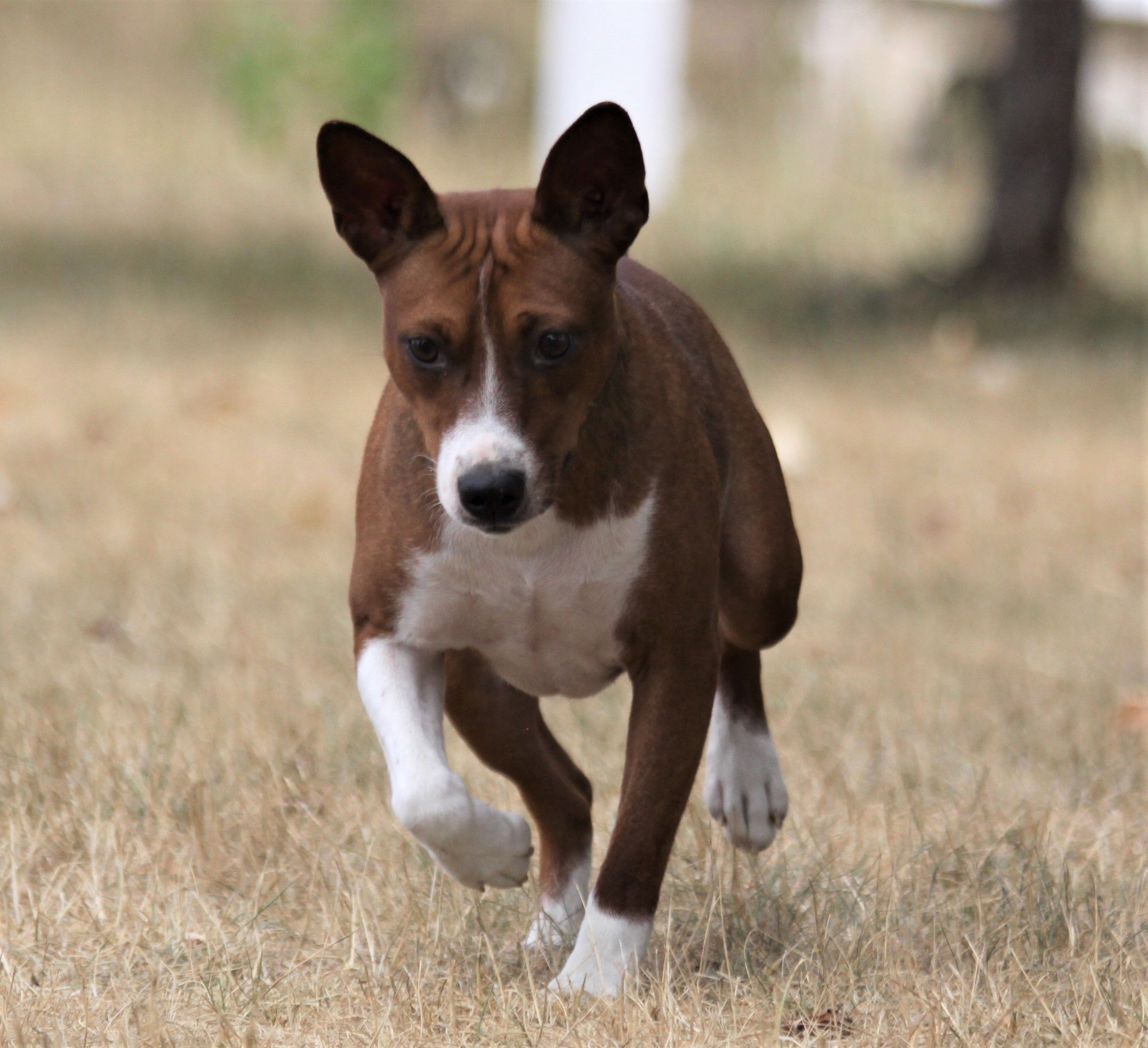 Akcratterrier Yes They Come In Red Sable And White Rat Terriers