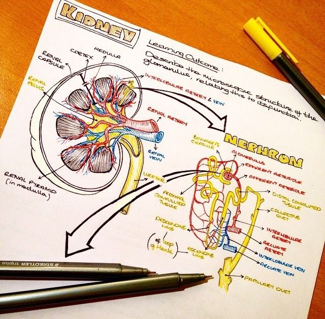 Kidney anatomy notes ✏ | funny meme | Pinterest