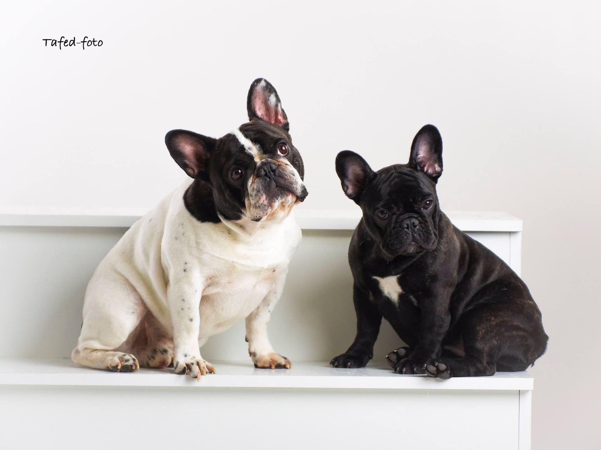 Pin By Hiram Ghirmay On Animals French Bulldog Animals Dogs