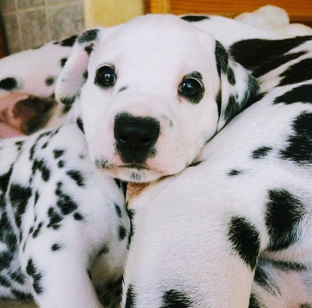 Dalmatians   Animales y mascotas   Pinterest   Dalmata, Animales y ...