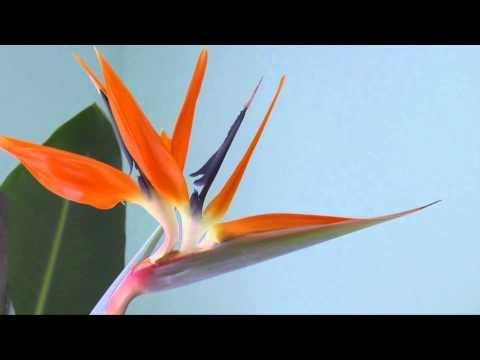 Image Result For Anatomy Of Bird Of Paradise Flower Birds Of Paradise Flower Birds Of Paradise Flowers
