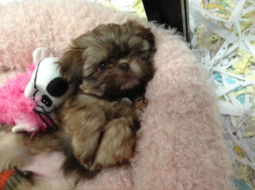 Imperial Toy ShihTzu Puppies For Sale In New York On Long
