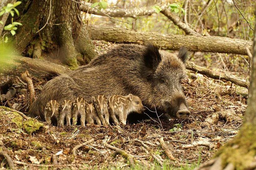 Wild Boar, Sus scrofa. Photo by Valdas Augustinas -