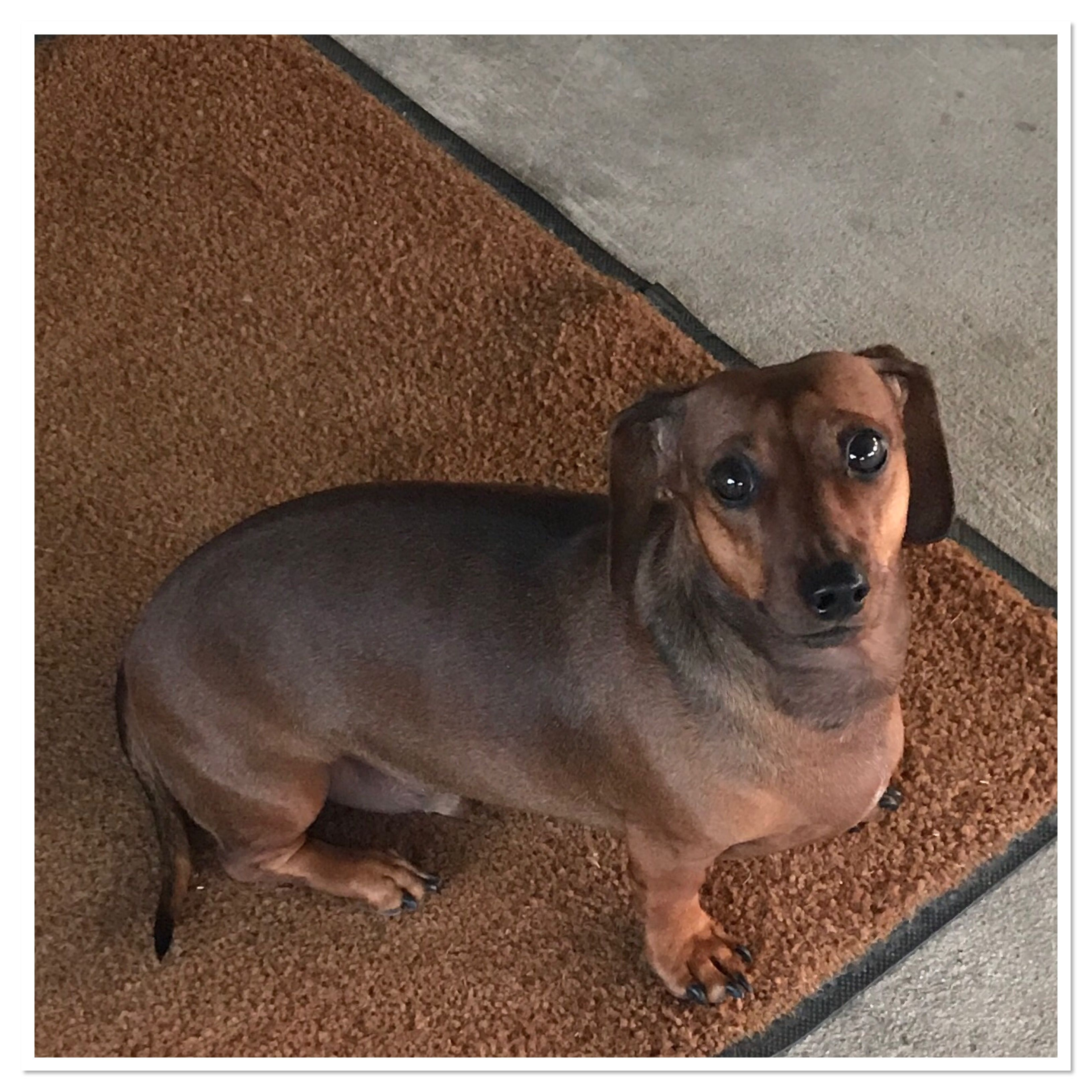 Pin By Lisa Fagan On Weiner Dogs Dachshund Dogs Animals