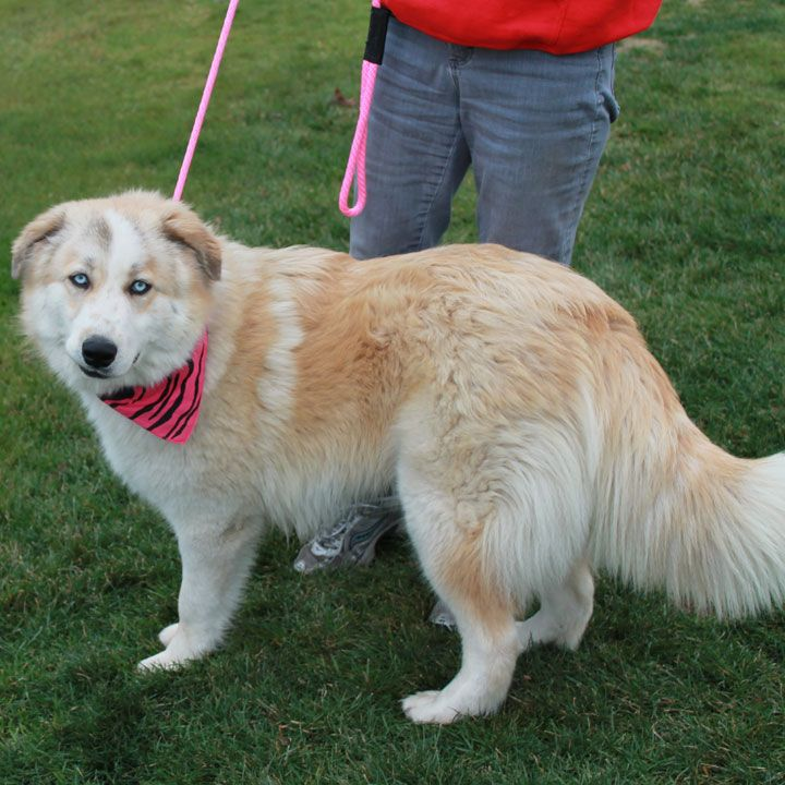 Dazzle Is An Active And Energetic 8 Month Old Husky Great Pyrenees Mix Female And Just May Be One Of The Prettiest Dogs We Ve Pretty Dogs Dogs Great Pyrenees