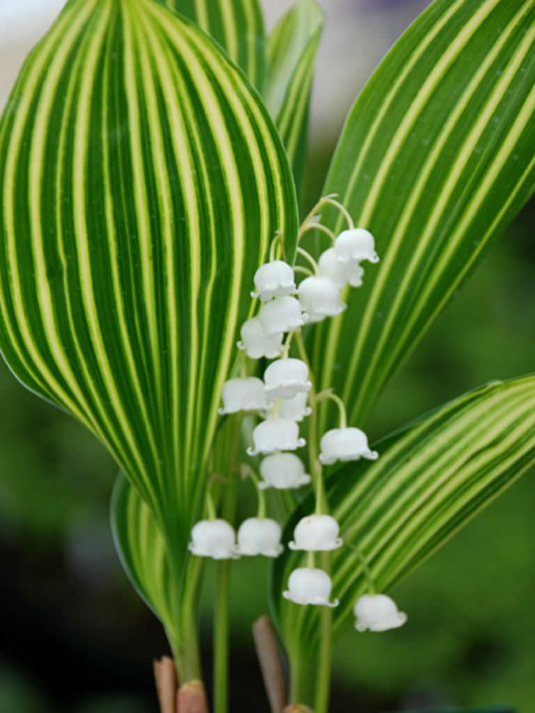 Convallaria Majalis Albostriata World Of Flowering Plants Lily Of The Valley Shade Perennials Perennials