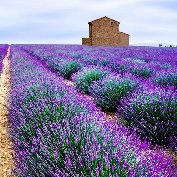 echter lavendel plants pinterest lavanda campos de lavanda y campo. Black Bedroom Furniture Sets. Home Design Ideas