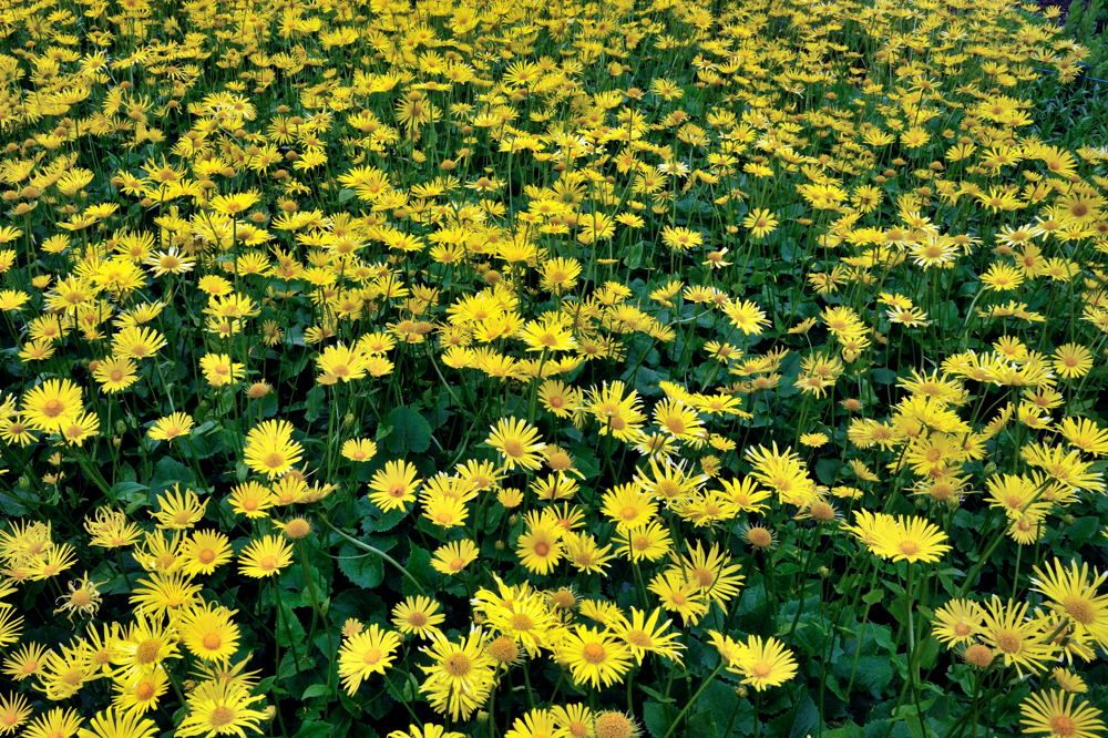 doronicum plantagineum - Google Search