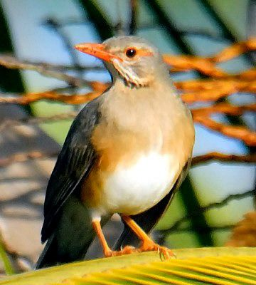 The Kurrichane Thrush (Turdus libonyana) is a species of bird in the Turdidae family. It is found in Angola, Botswana, Burundi, Democratic Republic of the Congo, Lesotho, Malawi, Mozambique, Namibia, South Africa, Swaziland, Tanzania, Zambia, and Zimbabwe.