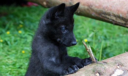 Black Wolf Puppy In The Konrad Lorenz Research Station Grunau Im Almtal Upper Austria Wolf Welpen Wolf Hunde Schwarze Wolfe