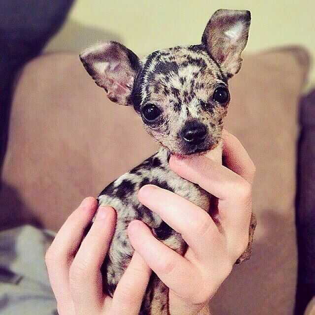 Pin By Tammy Mayberry On Cute Pics Chihuahua Puppies Cute Baby Animals Chihuahua