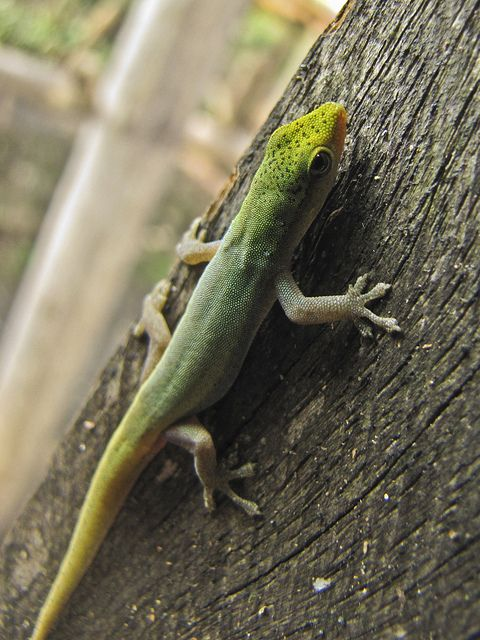 Lygodactylus conraui | Gecko | Steckbrief, Reptilien ...  Lygodactylus co...