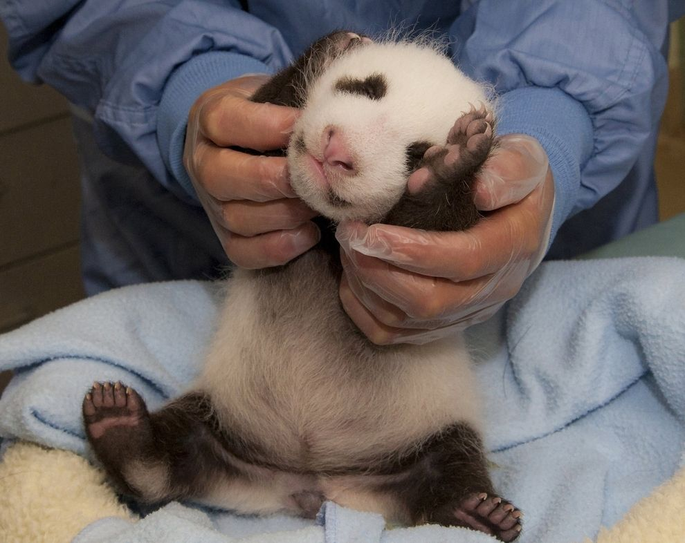 The Only Photo Of A Giant Panda Cub You Need To See Today