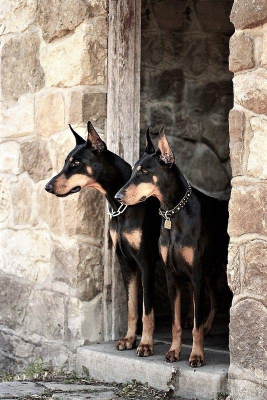 Dogs Rule Image By Austin Doberman Pinscher Dogs Doberman Dogs