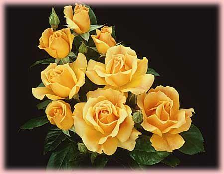 Easy Going Floribunda Is One Of The Harkness Easy Roses Living Easy Orange Easy Going Yellow Easy Weeks Roses Floribunda Roses Beautiful Flowers