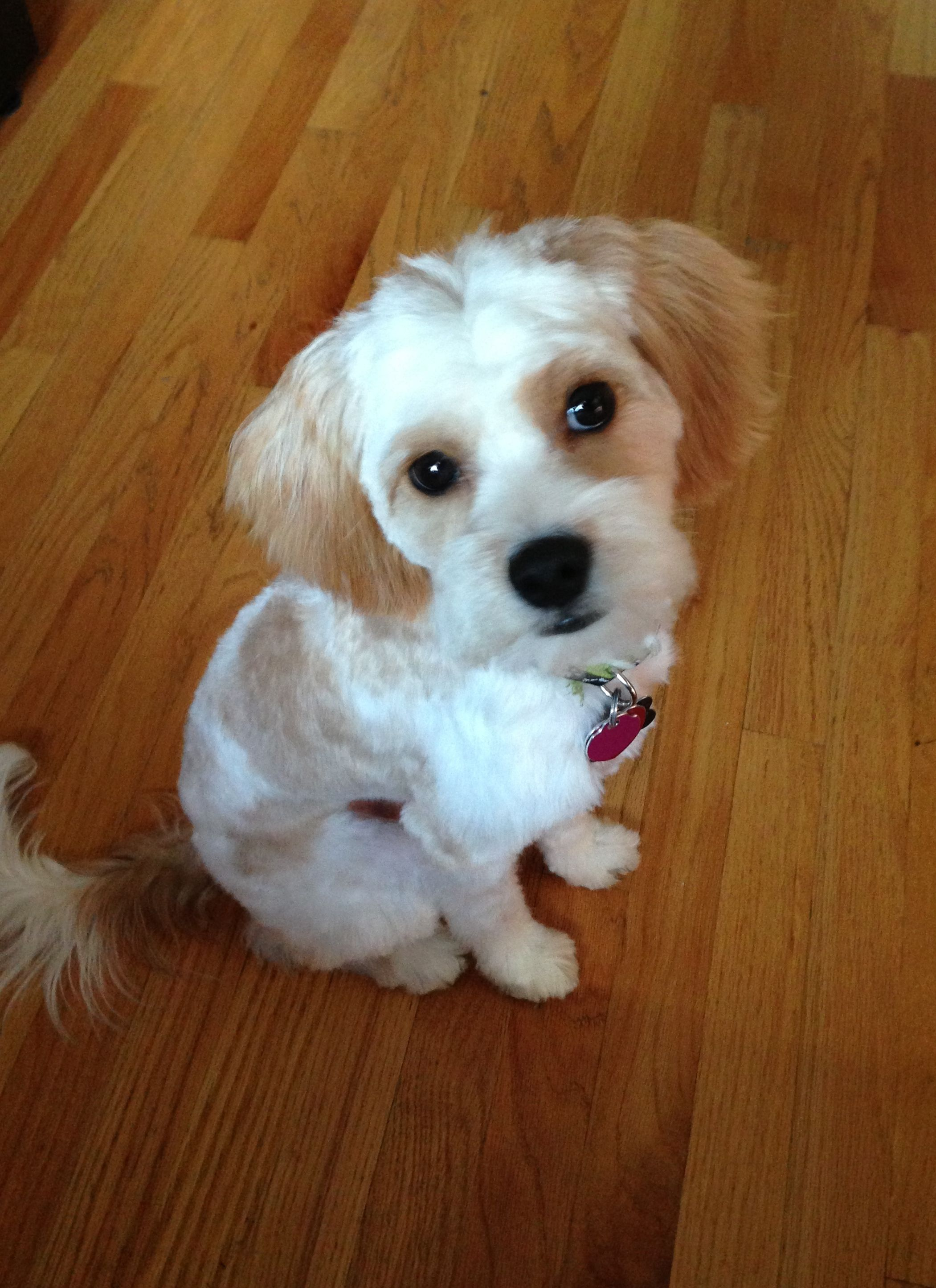 Maltese Cavalier Mix Puppies For