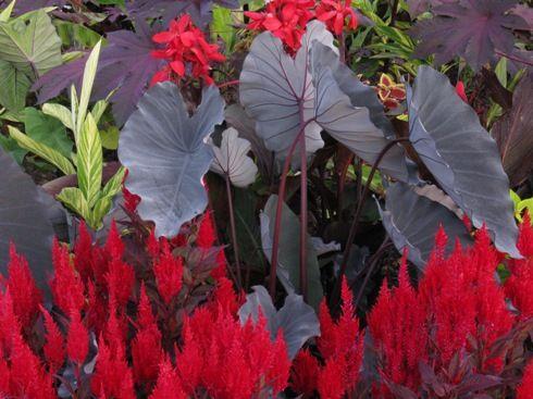Colocasia esculenta Black Runner
