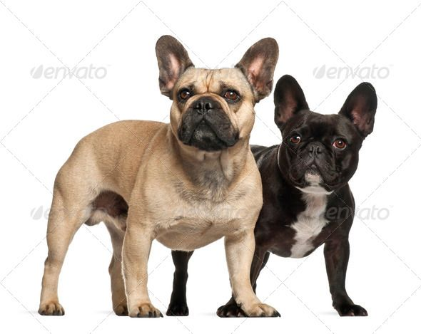 French Bulldogs 3 Years Old Standing Against White Background By Lifeonwhite French Bulldogs 3 Ye In 2020 With Images French Bulldog Grey French Bulldog French Bulldog Harness