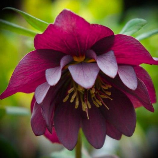 Helleborus 'Red Sapphire' - Shade Perennials - Perennials - Avant Gardens Nursery & Design