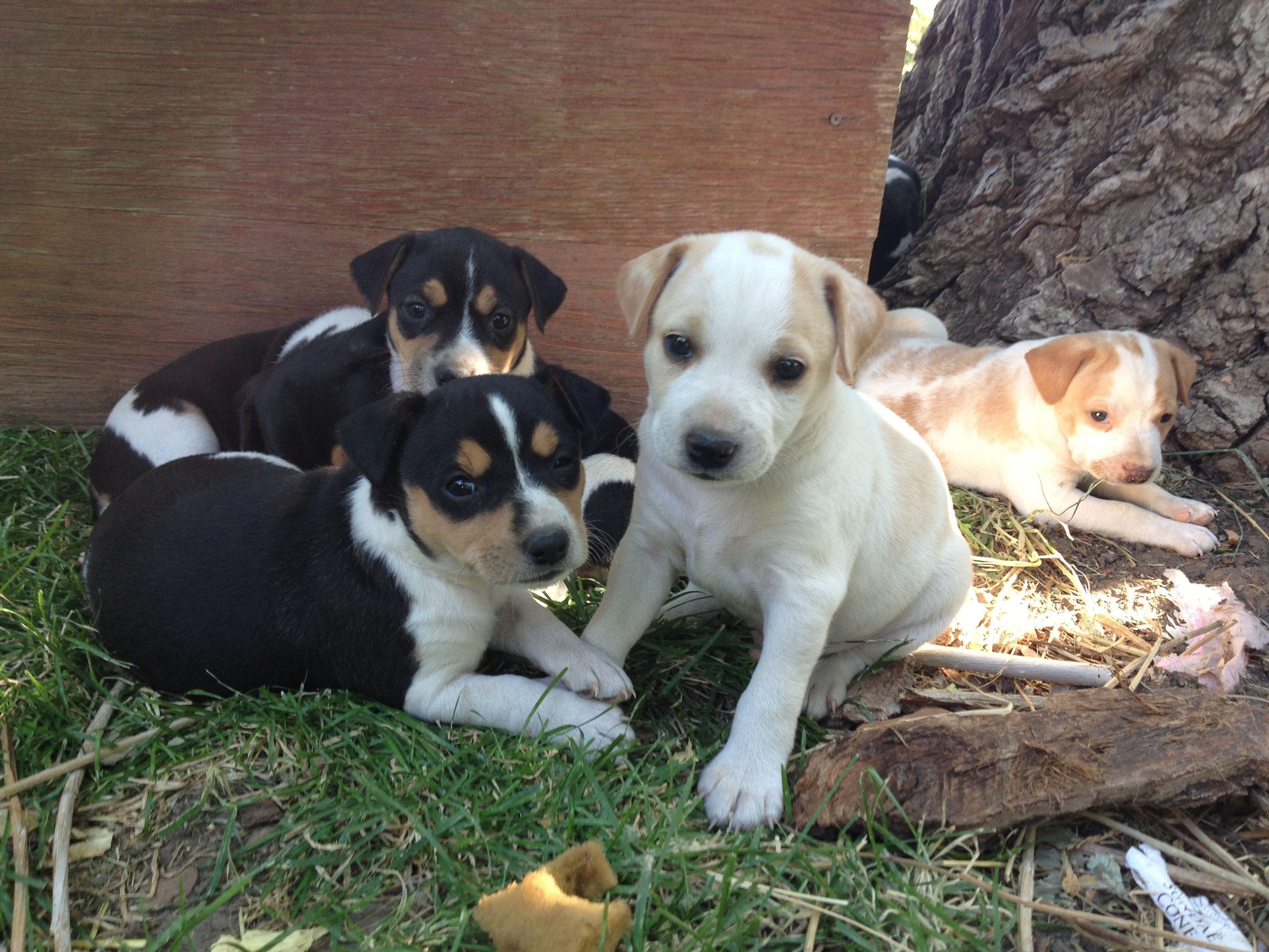 6 week old pups (July 27, 2013) Nevada Sage Rat Terriers