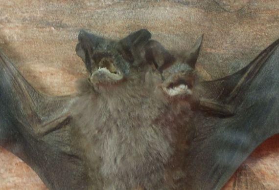two headed bat taxidermy