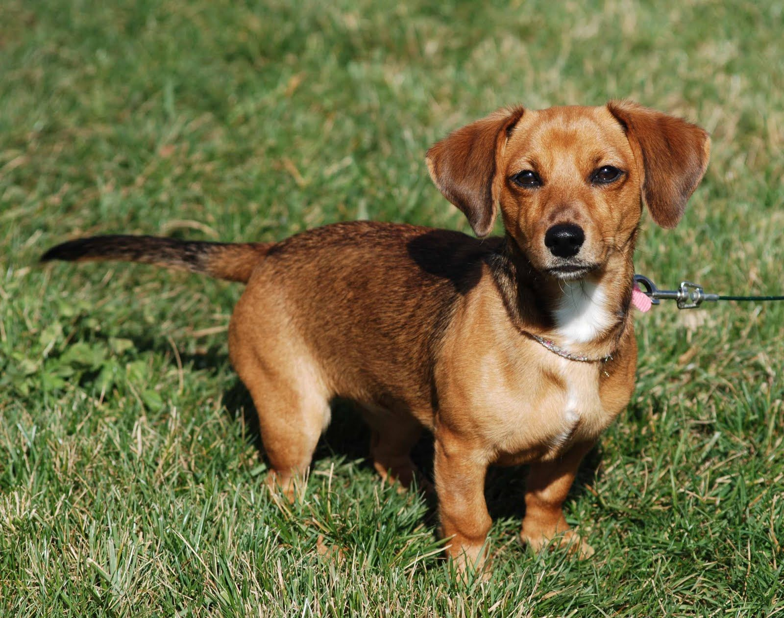 Pics photos dachshund chihuahua dog mix dogs pictures photos pics - Chiweenie Chiweenie Is A Cross Between Chihuahua And A Dachshund Most Chiweenie