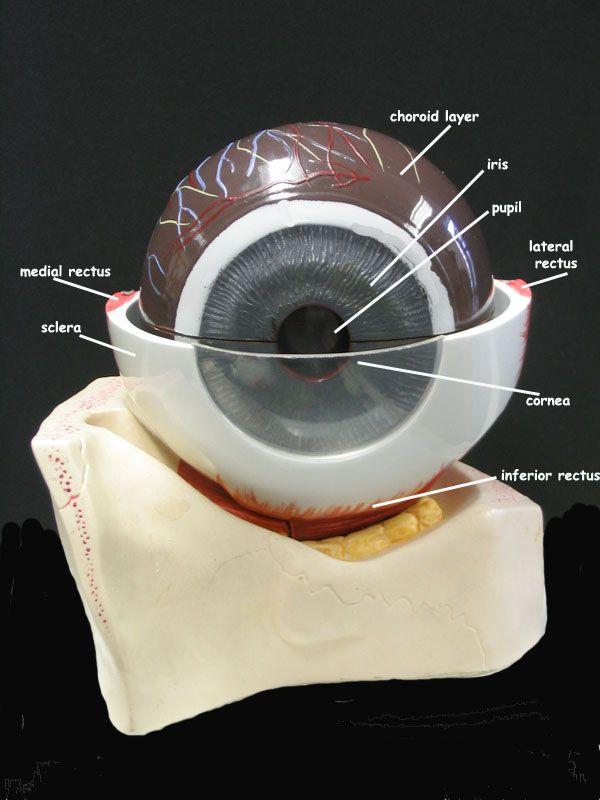 Eye - anterior | A&P.3.Nerve.Endocrine | Pinterest | Eye
